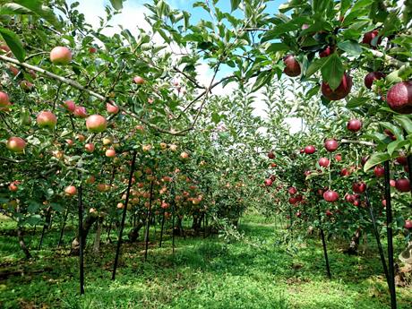 秋映とシナノスイートの収穫