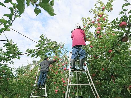 リンゴの手入れ作業
