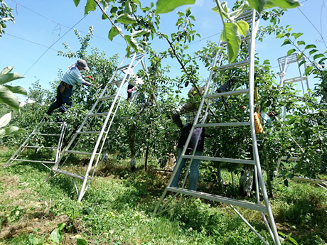 りんごの摘果作業中