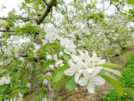 りんごの花が満開になりました